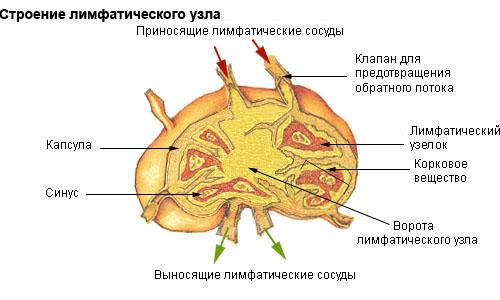 строение лимфоузлов
