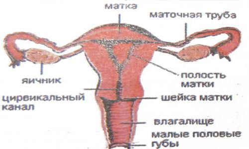Яичко мужчины строение и функции яичка