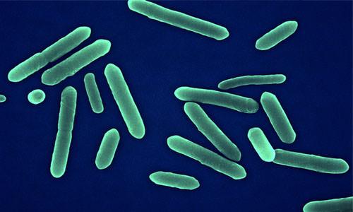 столбняк бактерия