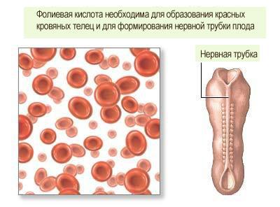 Сколько пьют фолиевую кислоту при беременности